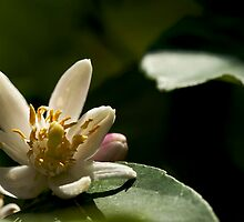 Sour Flower by KitPhoto