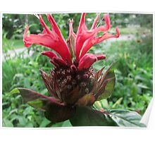 Bee Balm!   Poster