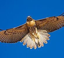 0627092 Red Tailed Hawk by Marvin Collins
