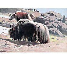 Yaks Vintage Painting Photographic Print