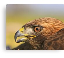 Red Tail Hawk - Family:  Accipitriformes Canvas Print