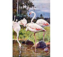 Pink Flamingos Vintage Illustration Photographic Print