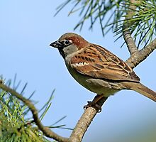 Male House Sparrow perched on branch by Robert Flynn