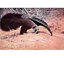 Giant Anteater Vintage Illustration. Photographic Print