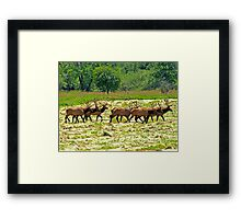 Eight Bull Elk All in Velvet  Framed Print