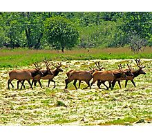 Eight Bull Elk All in Velvet  Photographic Print