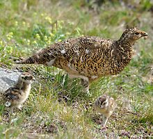 Ptarmigan and chicks by Angela1