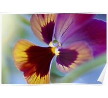 Pansy in a morning breeze Poster
