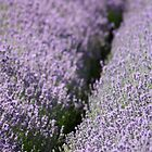 Lavender Fields by Lynn Ede