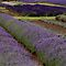 Lavender Fields ii by Lynn Ede