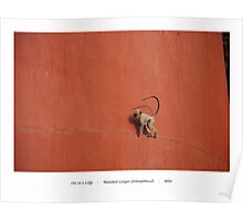 Out On A Ledge * Hanuman Langur Poster