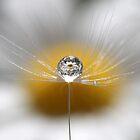 A drop full of daisies by Melinda Gaal