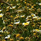 Daisies in yellow by KitPhoto