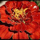 Red marigold by Sheri Nye