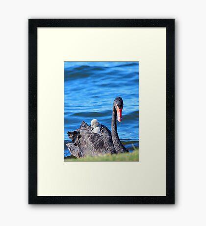Black Swan - Western Australia  Framed Print