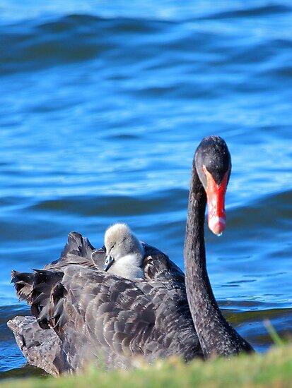 Black Swan - Western Australia  by EOS20