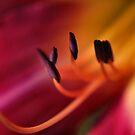Scarlet lily by Sheri Nye