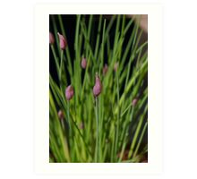 Chives in flower Art Print