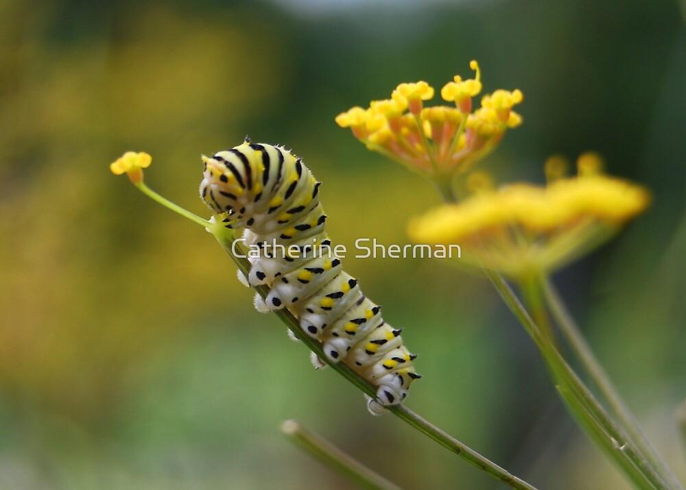 Black Swallowtail Caterpillar Munching a Bronze Fennel Flower by Catherine Sherman