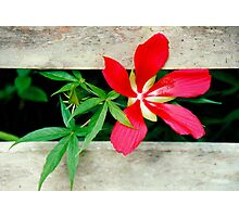 Wild Hibiscus on the Fence Photographic Print