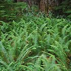 Forest Ferns... by Carol Clifford