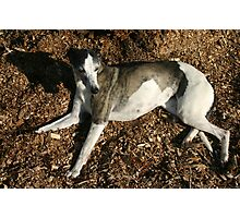 Reclining Whippet Photographic Print