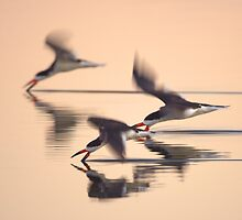 Black Skimmers by David Orias