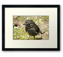 New Zealand Robin Framed Print