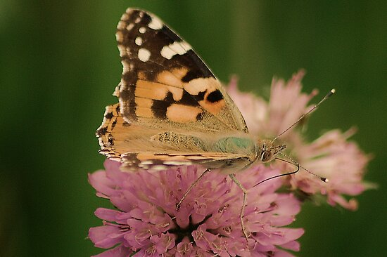 Beauty of Monarch Butterfly  by loiteke