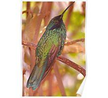 Ruby-throated Hummingbird Poster