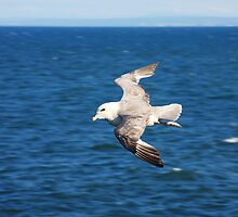 Seagull Flypast by Richard Hanley www.scotland-postcards.com
