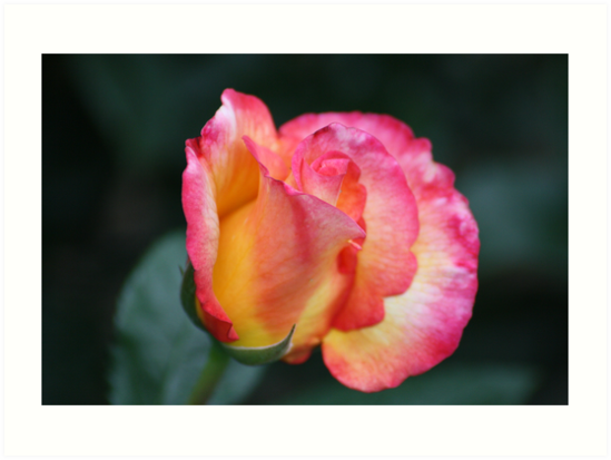 Colorful beauty by Chappy