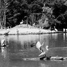 isle of pelicans by KERES Jasminka
