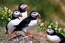 Puffin Group by David Lewins