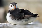 Resting Puffin by David Lewins
