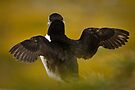 Wing Stretching Puffin by David Lewins