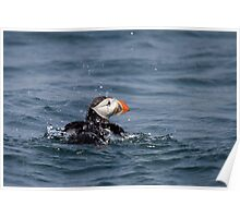 Puffin bathing Poster