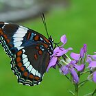 White Admiral Watching Me by marilynwood