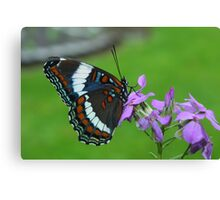 White Admiral Watching Me Canvas Print