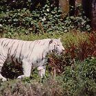 White Tiger by dbronco928