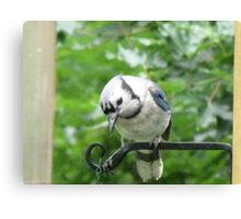 Blue Jay ready and waiting for his breakfast!!!  Canvas Print