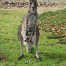 Eastern Grey Kangaroo by Robert Jenner