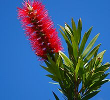 red bottle brush  by Danny  Waters