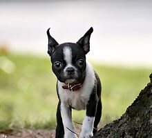 Furry Boston Terrier