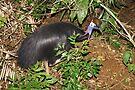 Southern Cassowary ~ Endangered by Robert Elliott