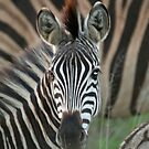 Zebra at sunset by Rebecca Conroy