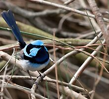 Superb Blue Wren by John Sharp