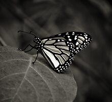 Wings  by Christine Wilson