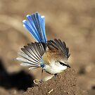 Superb Fairy -wren  III Marlo Australia . by helmutk