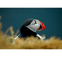 Puffin in Iceland Photographic Print